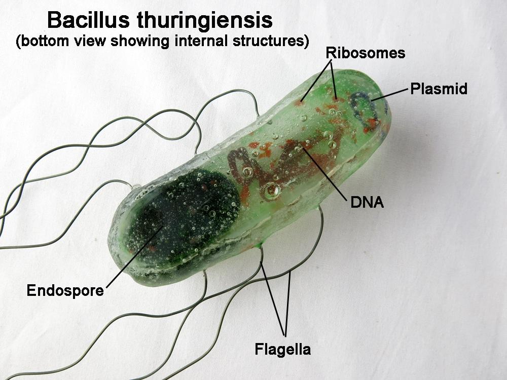 B. Thuringiensis