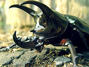 escarabajo rinoceronte o torito