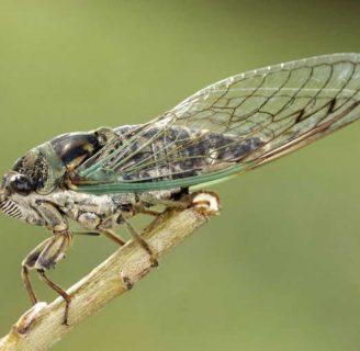 Cicadidae o Chicharra: Características, sonido y mucho más