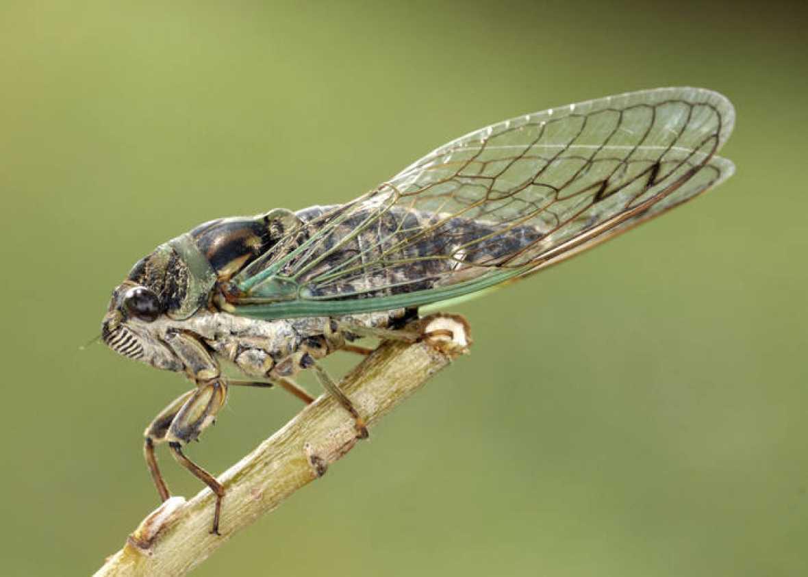 Cicadidae o chicharra