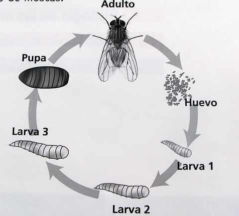 ciclo-mosca