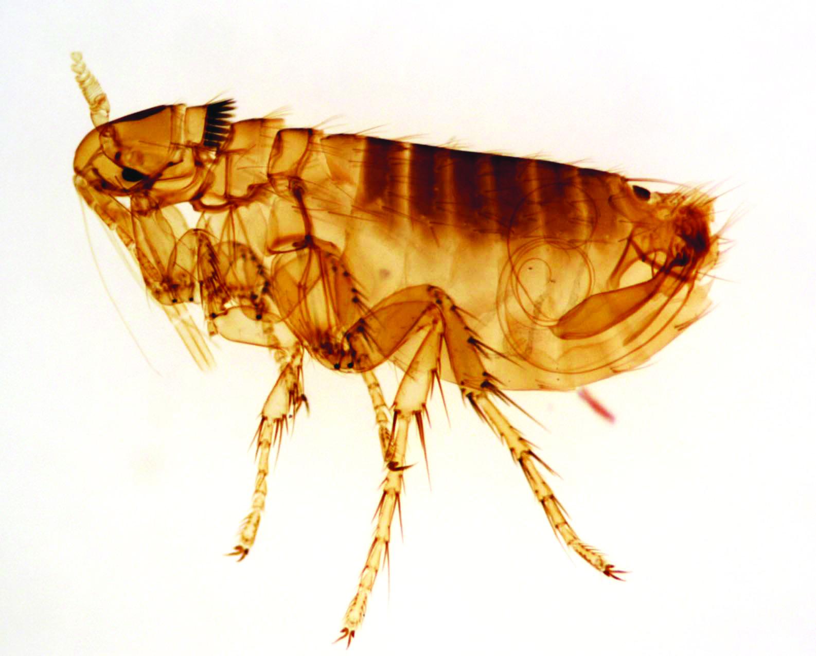 como eliminar las pulgas