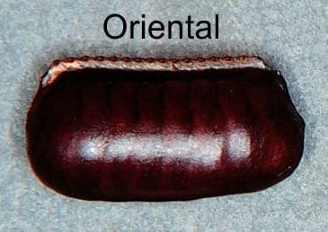 huevo de cucaracha
