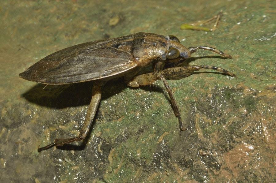cucaracha acuática