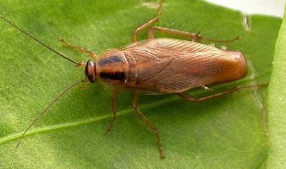 cucaracha del jardin