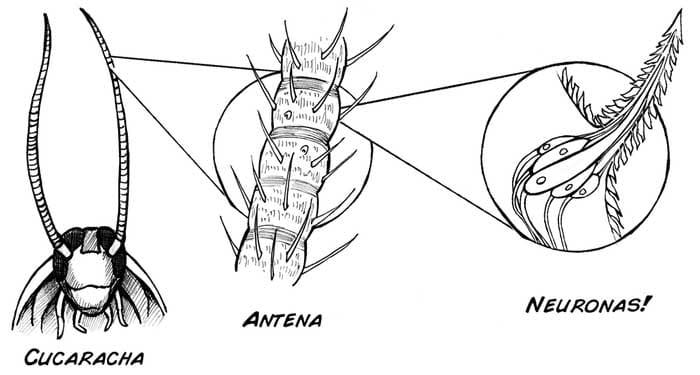 partes de la cucaracha americana