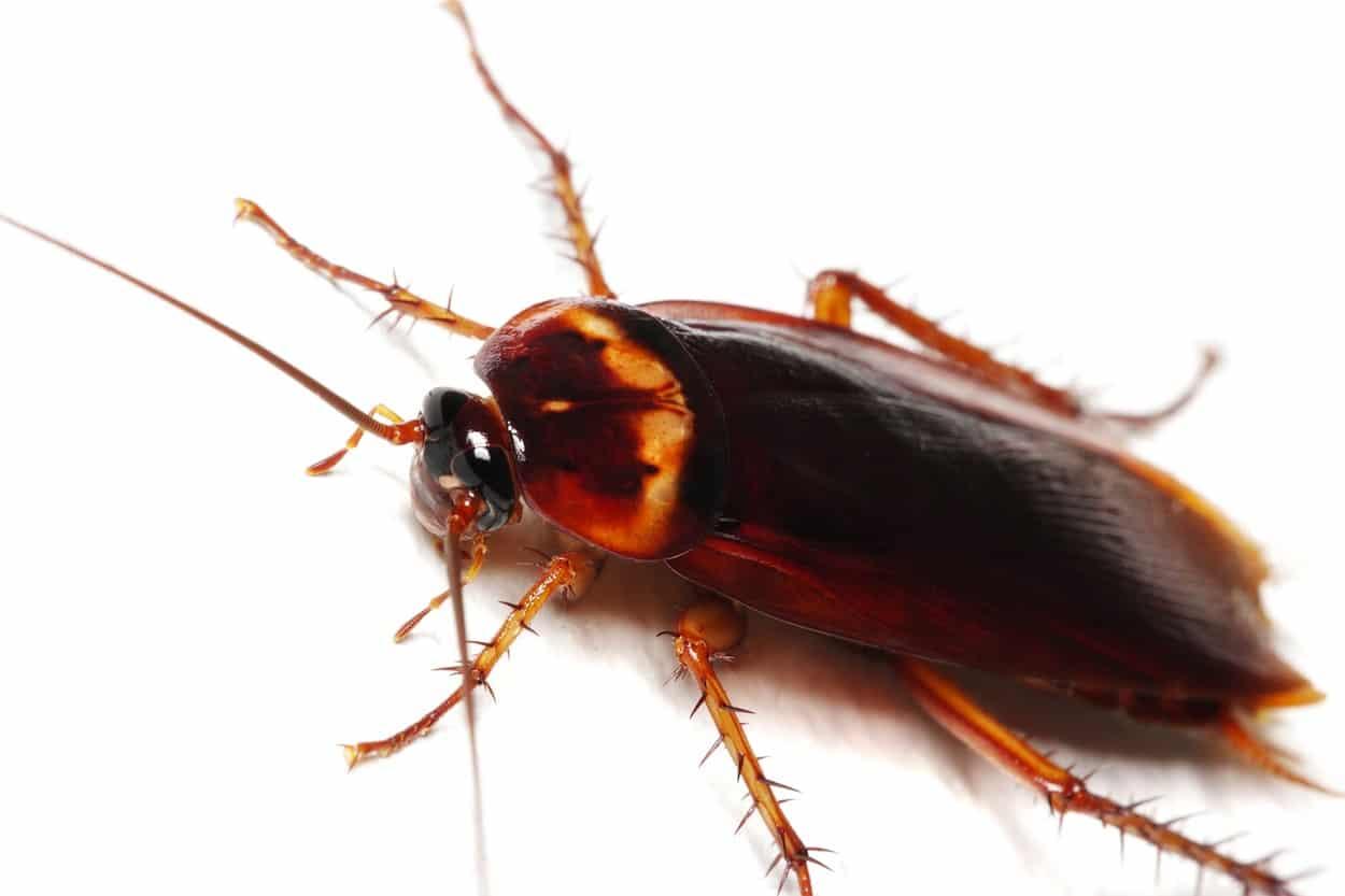 taxonomía de la cucaracha americana