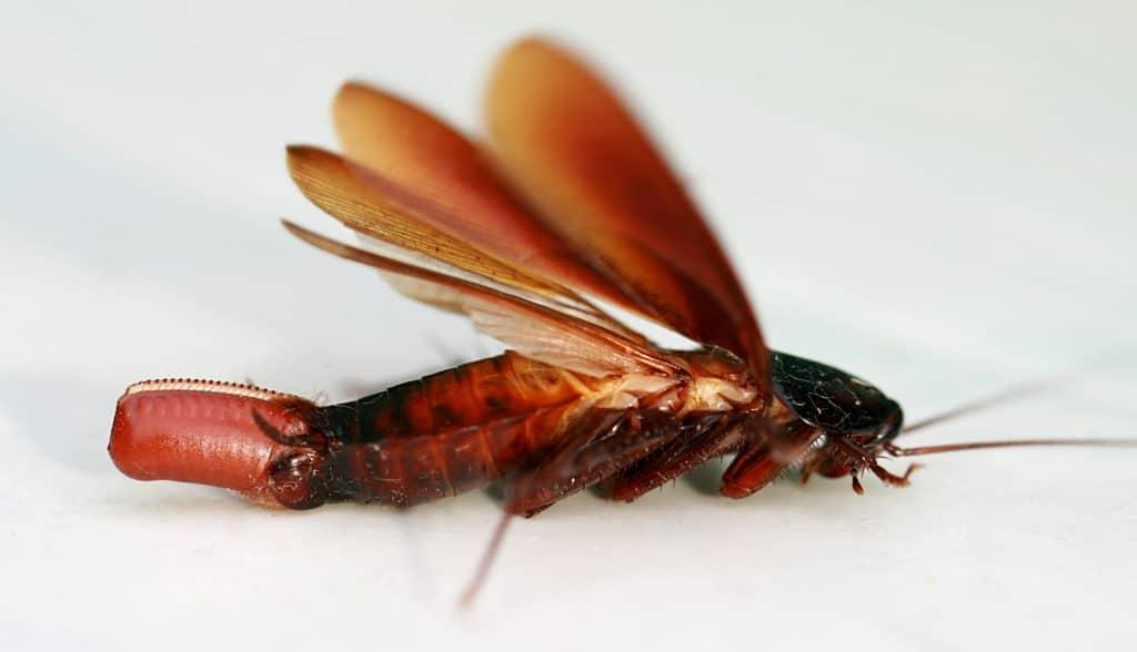 alimentación de las cucarachas americanas