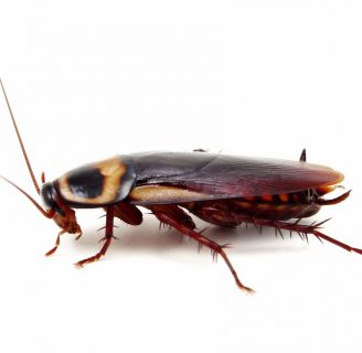 Cucaracha americana: Características, plagas, excrementos, huevos y más