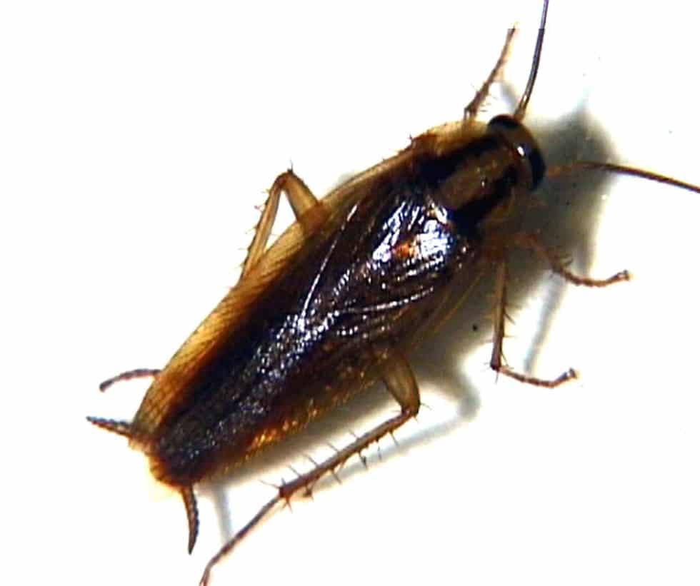 enfermedades que transmiten las cucarachas americanas