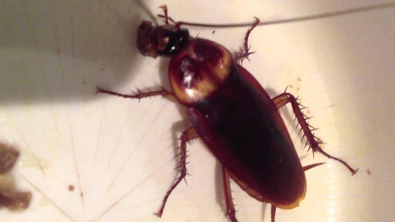 hábitat de la cucaracha americana
