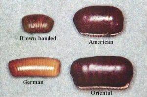 huevo de la cucaracha americana