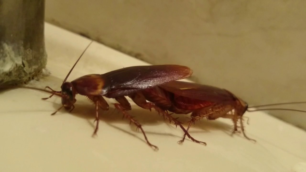 cucaracha-americana-8