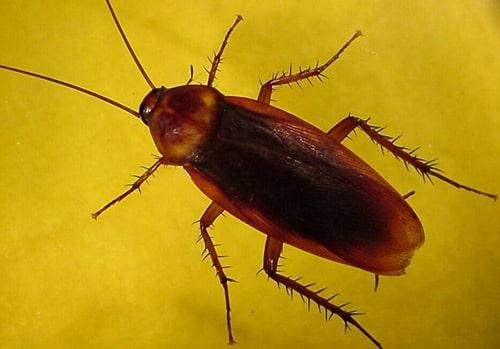 cucaracha hembra