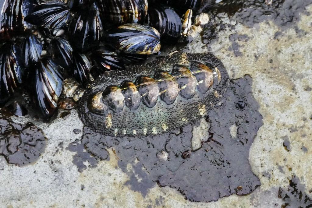 cucaracha-de-mar2
