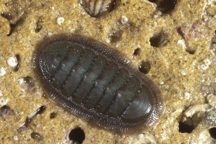 cucaracha-de-mar6
