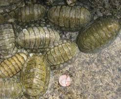 cucaracha de mar