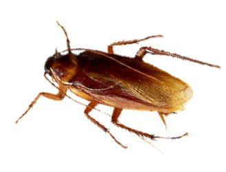 Cucarachas voladoras: Aprende cómo exterminarlas, de dónde salen y más.