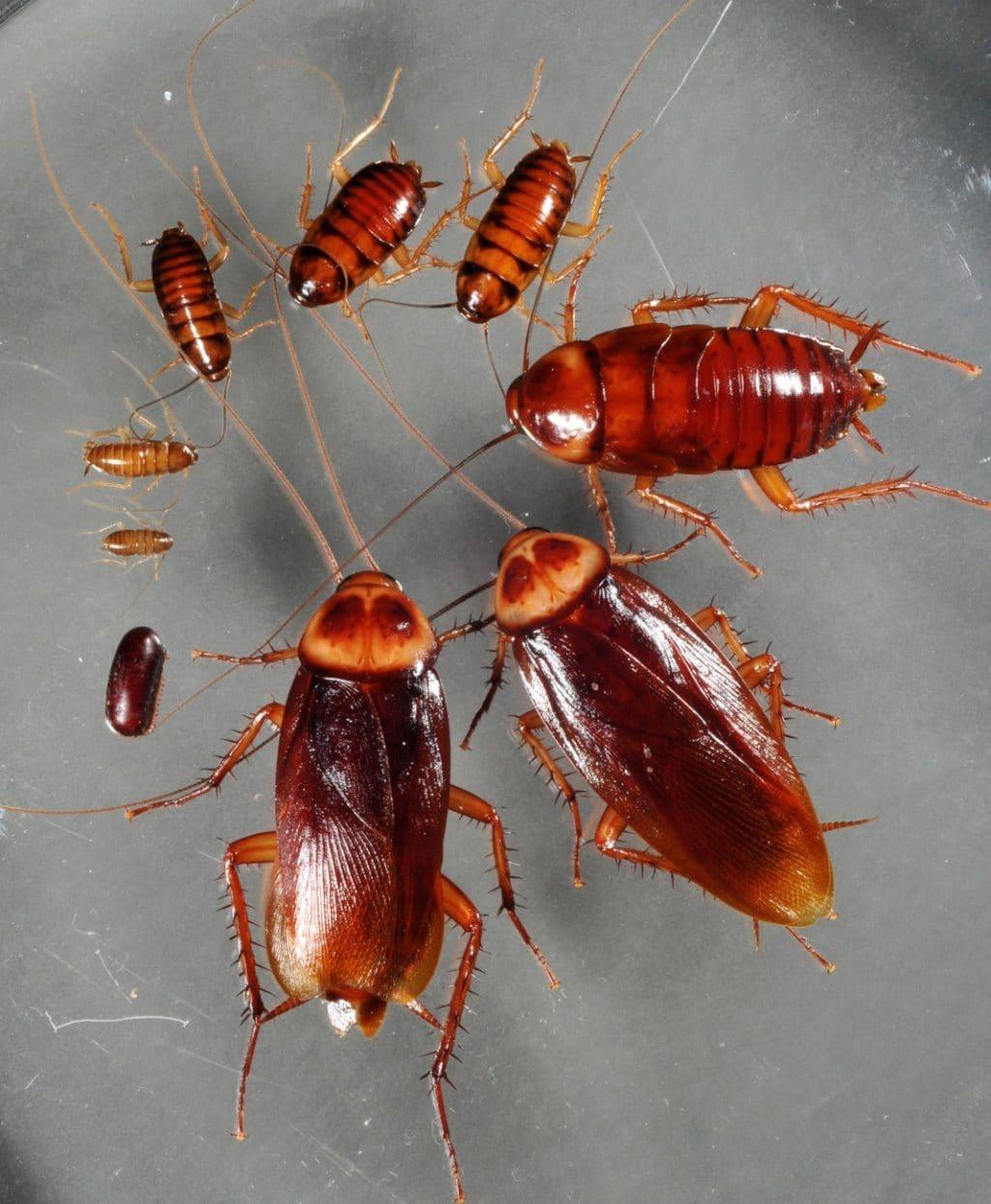 cucarachas voladoras