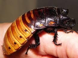 cucaracha gigante de madagascar