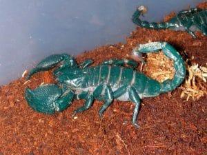escorpión-azul-7