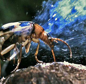Escarabajo bombardero: Todo lo que necesitas saber