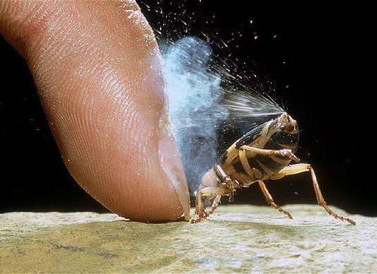 escarabajo-bombardero3