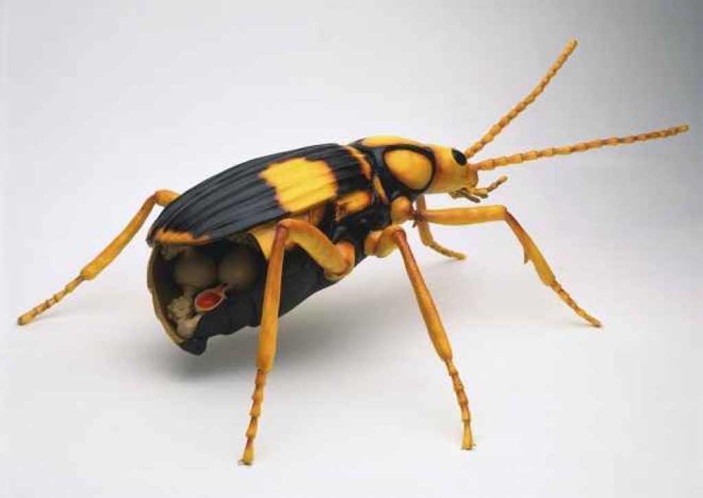 escarabajo-bombardero4
