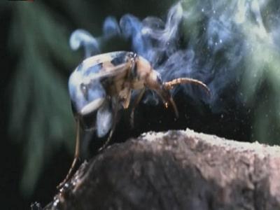 escarabajo-bombardero5