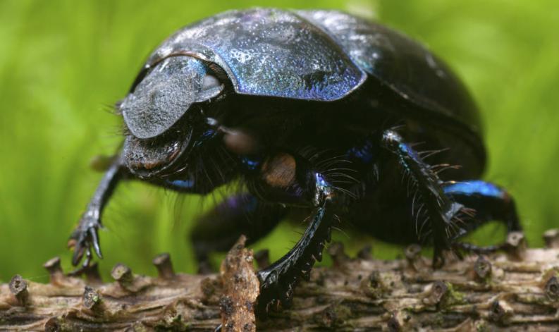 escarabajo-pelotero-1