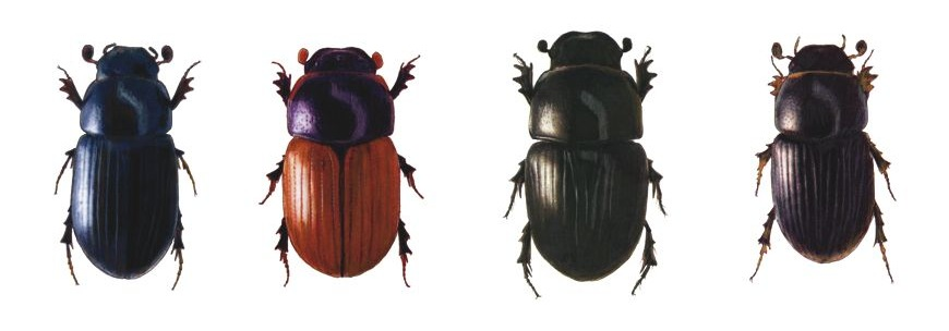escarabajo-pelotero