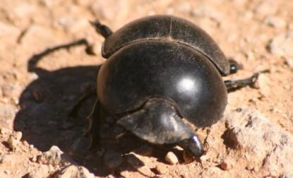 escarabajo-pelotero-3