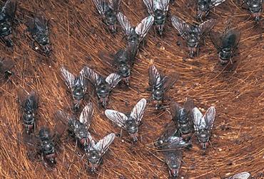 escarabajo-pelotero-4