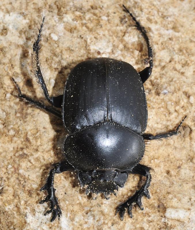 escarabajo-pelotero-5