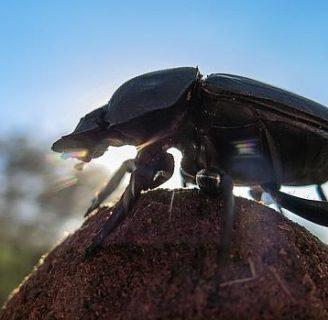 Escarabajo Pelotero coleóptero: Características, alimentación y más