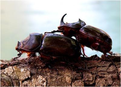 escarabajo-rinoceronte