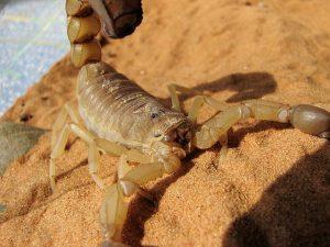 escorpión-azul-3