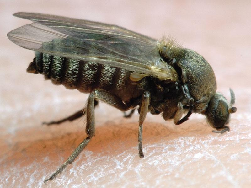 mosca-negra-simuliidae