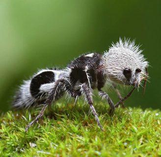 Hormiga panda: curioso insecto que engaña con su apariencia.