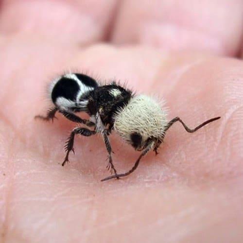 hormiga panda