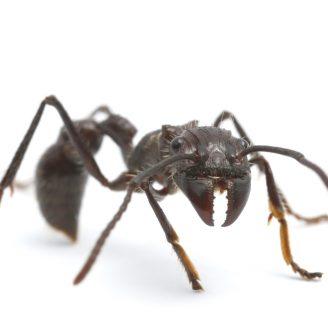 Hormigas bala: Conoce su ritual, picadura y mucho más