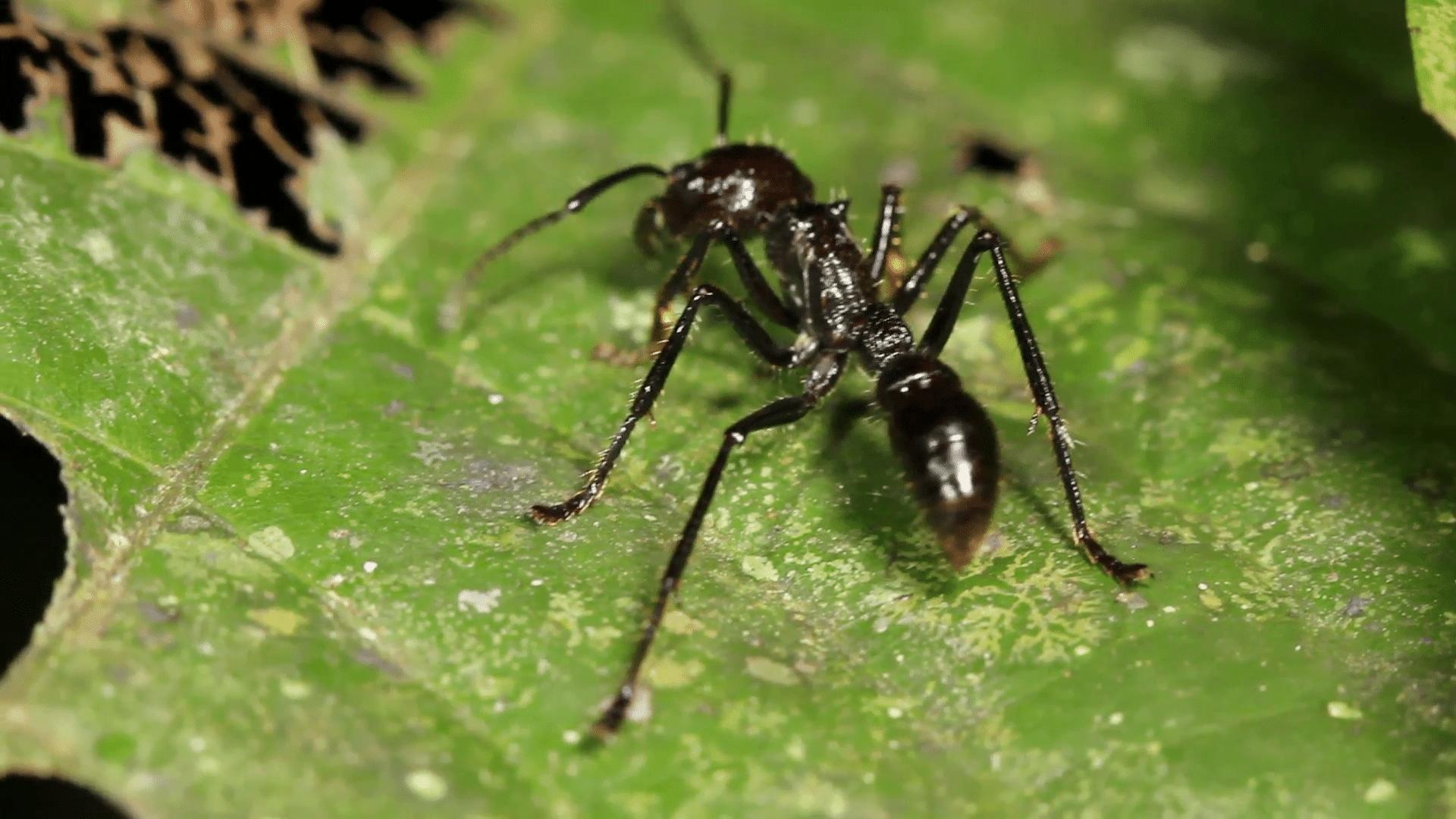 hormigas-bala14