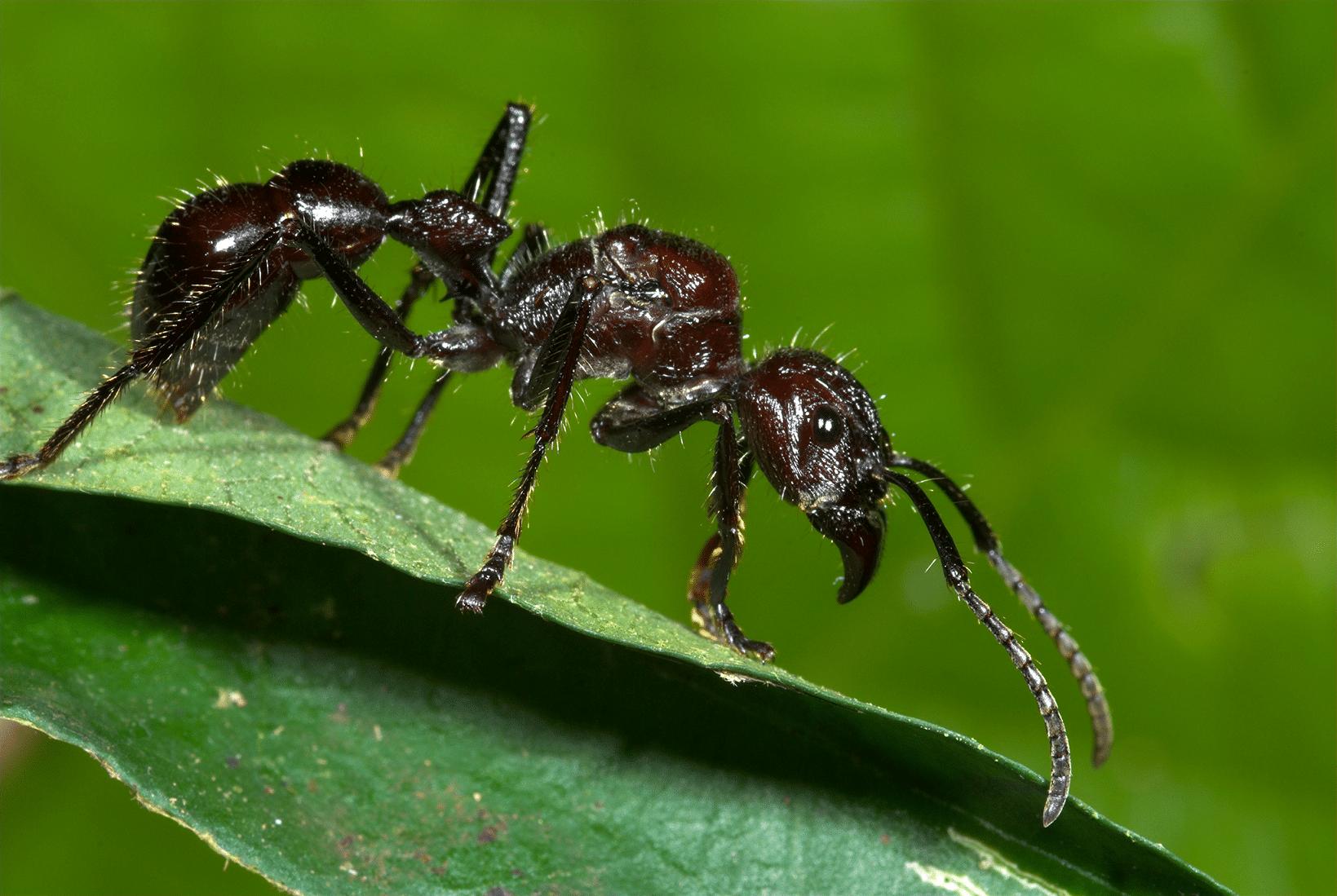 hormigas-bala3