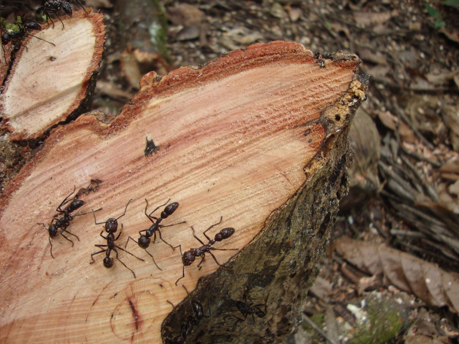 hormigas-bala7