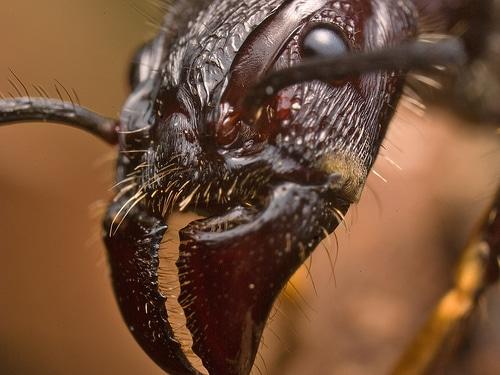 hormigas-bala8