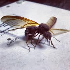 hormigas chicatanas u hormigas arrierras