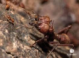 hormigas chicatanas