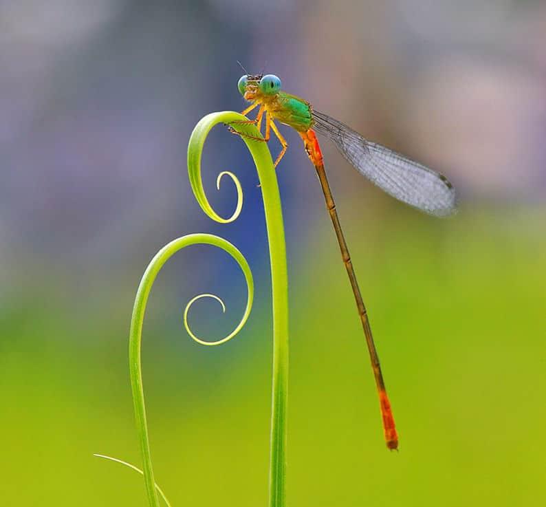 libelula-colores