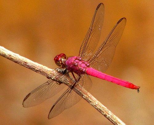libelula-rosa