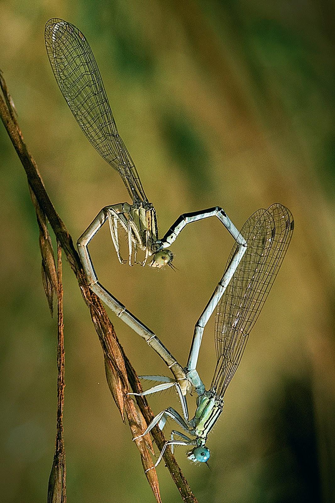 libelula-apareandose